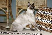 Outstanding Bengal cross kittens for sale