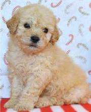 lovely poodle puppies for sale