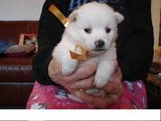 American eskimo puppy for loving homes