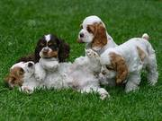 cocker spaniel puppies for your home