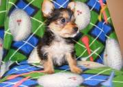 well train Yorkshire terrier puppies for sale