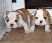 gorgeous rehoming english bulldogs puppies