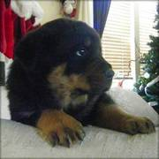 Healthy Rottweiler Puppies For Good Homes