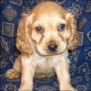Cute and Loving Cocker Spaniel Puppies for Sale