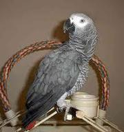 Extra Tamed African Grey Parrots On-07031875299