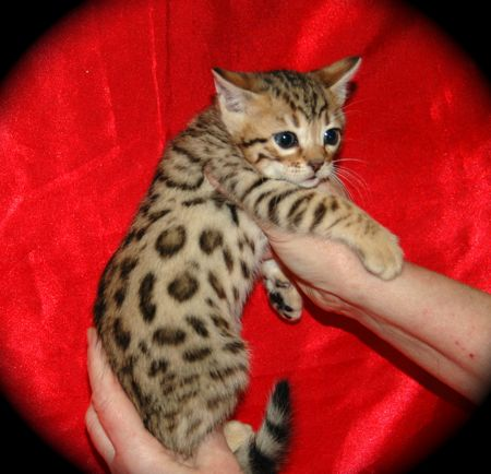 Bengal kittens for sale glasgow