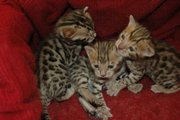 lovely bengal female 18 weeks old. bengal female 18 weeks pedigree
