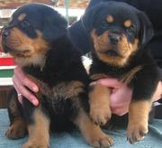 Pure German Rottweiler Puppies For Adoption