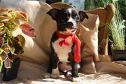 ACA Chihuahua Male