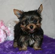 tea cup yorkshire terrier pups