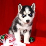 Adorable Siberian Husky Puppies searching for New homes